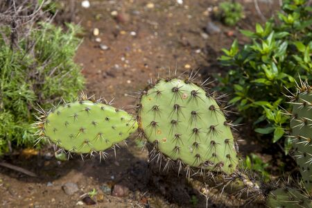 Green pads on a prickly pear cactus, which produces pink to red flowers  of Opuntia ficus-indica is also known as Indian fig opuntia, barbary fig, cactus pear and spineless cactus. Stock Photo