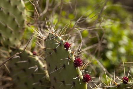 barbary: Green pads on a prickly pear cactus, which produces pink to red flowers  of Opuntia ficus-indica is also known as Indian fig opuntia, barbary fig, cactus pear and spineless cactus. Stock Photo