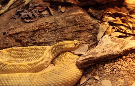 serpiente de cascabel: Northwest neotropical rattlesnake known as Crotalus culminatus is found in southwestern Mexico