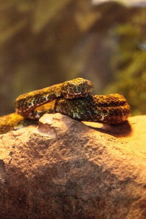 Mang mountain pit viper known as Protobothrops mangshanensis is found in the Mang Mountain of China