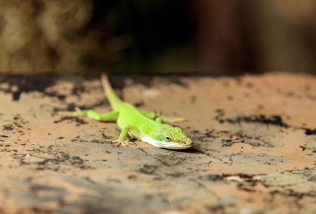 Green anole scientifically known as Anolis Carolinensis can be found in Florida on bromeliads and other tropical plants.