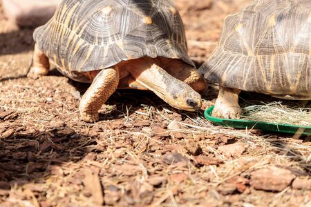 Radiated tortoise scientifically known as Astrochelys radiata is found in Madagascar. Stock Photo