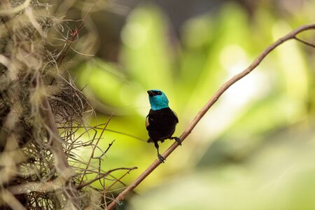 Blue necked tanager scientifically known as Tangara cyanicoilis is found in Central Columbia.