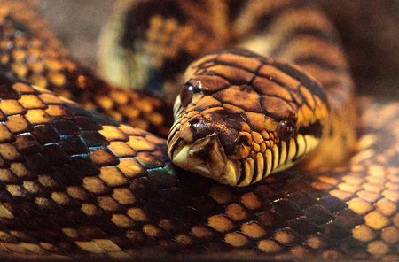 Scrub python known as Morelia amethistina is found in Australia and New Guinea. Stock Photo