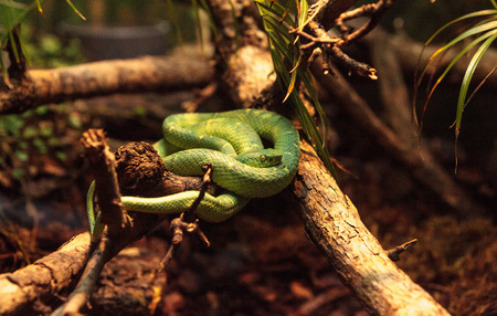 Side striped palm pit viper known as Bothriechis lateralis is found in forests of Costa Rica.