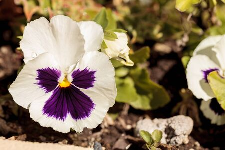 Colorful pansy flower known as Viola tricolor var. hortensis blooms in a botanical garden on a green background