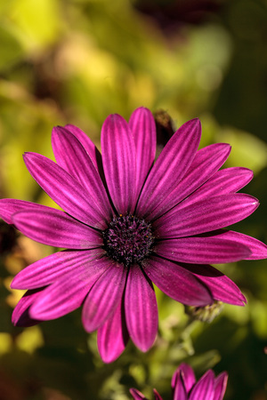 Macro of African daisy Osteospermum ecklonis blooms in purple, pink and white with yellow pollen in a botanical garden. Stock Photo