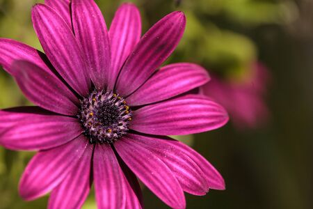 osteospermum: Macro of African daisy Osteospermum ecklonis blooms in purple, pink and white with yellow pollen in a botanical garden. Stock Photo