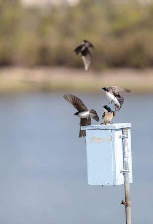 Blue Tree swallow bird, Tachycineta bicolor, sits on a nesting box in San Joaquin wildlife sanctuary, Southern California, United States Stock Photo
