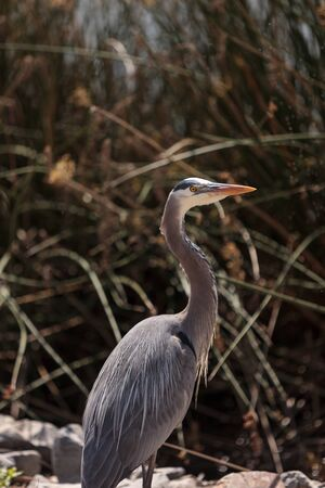 herodias: Great blue heron, Ardea herodias, bird in a marsh in Southern California Stock Photo