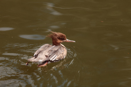 Scaly-sided merganser duck Mergus squamatus swims in a pond in spring