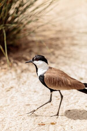 Spur-winged lapwing bird called Vanellus spinosus is found in Ethiopia Stock Photo