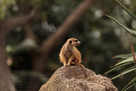 Meerkat , Suricata suricatta, on a large rock, on the lookout for predators or food.