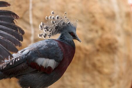 Nuova Guinea: Victoria crowned pigeon called Goura victoria is found in Northern New Guinea