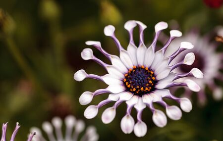 Osteospermum Whirligig daisy with white petals and purple edges and pinched petal ends. Stock Photo