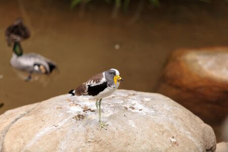 White-headed lapwing called Vanellus albiceps perches on a rock. This bird has yellow flaps along the side of its face that extend from a shark beak.