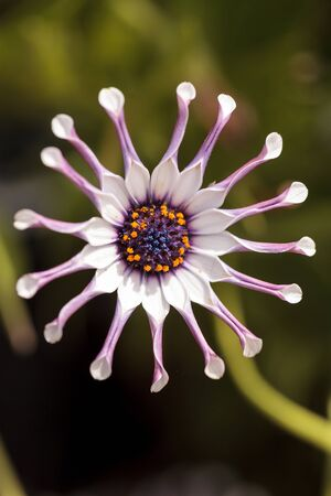 pinched: Osteospermum Whirligig daisy with white petals and purple edges and pinched petal ends. Stock Photo