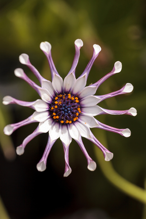 Osteospermum Daisy Whirligig con pétalos blancos y bordes morados y puntas de pétalos pellizcados.