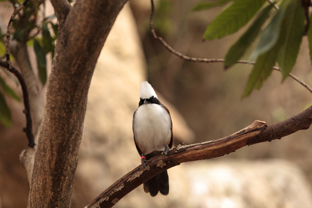 laughingthrush: White-crested laughingthrush called Garrulax leucolophus perches in trees and hunts along the ground for food. Stock Photo