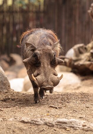 Common warthog called Phacochoerus africanus is found in Zimbabwe, Namibia, Botswana and Natal.