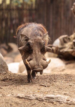 zimbabwe: Warthog común llamado Phacochoerus africanus se encuentra en Zimbabwe, Namibia, Botswana y Natal.