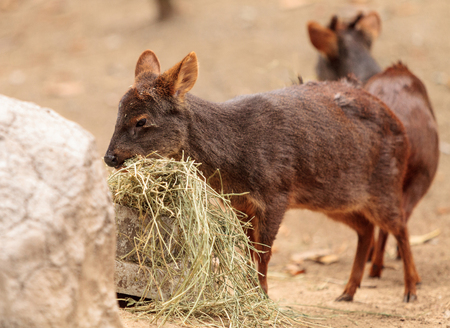 Southern pudu scientifically named Pudu pudu is found in the rain forest of Chile and Argentina
