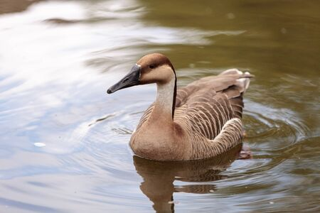 Swan goose called Anser cygnoides swims in a pond in spring in Mongolia