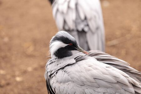 Demoiselle crane Grus virgo preens its gray and white feathers. This bird is found in Mongolia and China.