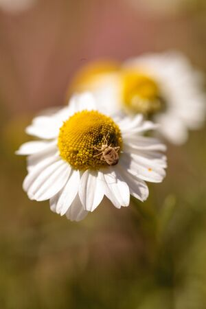 Chamomile flower herb called Matricaria recutita blooms in a botanical garden with a small aphid on the center. Banco de Imagens