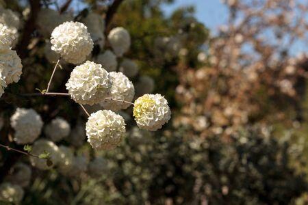 Chinese snowball tree in bloom with white flowers Viburnum macrocephalum in spring