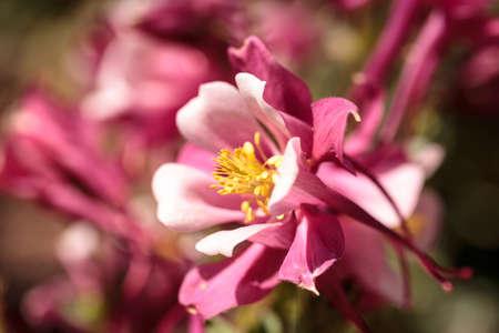 핑크 Aquilegia 꽃 콜 럼 바인 꽃 봄에 식물원에서라는 스톡 콘텐츠 - 75191849