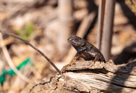 Western fence lizard called Sceloporus occidentalis with a purple throat during breeding season.