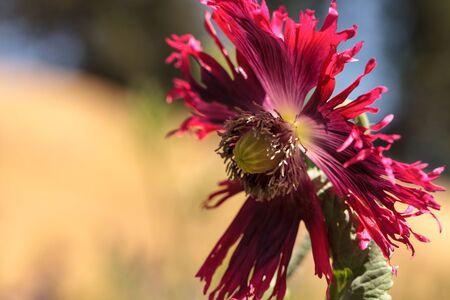 Round pricklyhead poppy called Papaver hybridum blooms in a garden