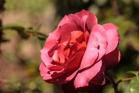 Dusty red rose known as hot cocoa blooms in a botanical garden