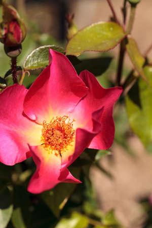Pink red tea rose blooms in a botanical garden in spring Imagens