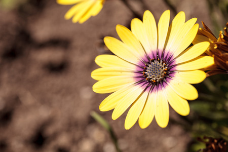 Yellow petals on a blue-eyed beauty daisy from the Osteospermum genus blooms in a spring garden.