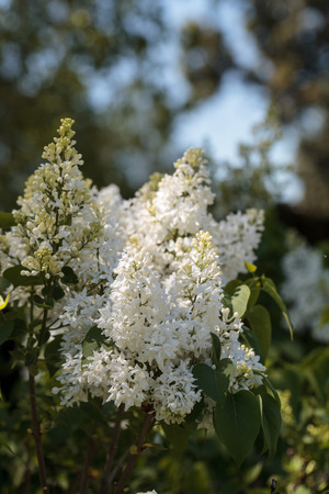 White lilac flowers bloom on a tree in spring Imagens