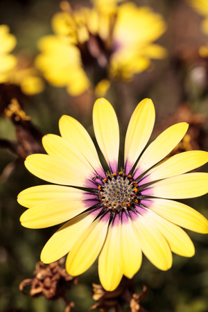 osteospermum: Yellow petals on a blue-eyed beauty daisy from the Osteospermum genus blooms in a spring garden.