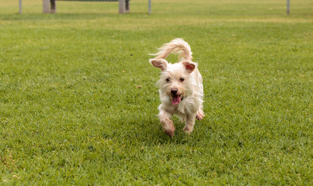 Terrier dog mix plays in a dog park in summer.