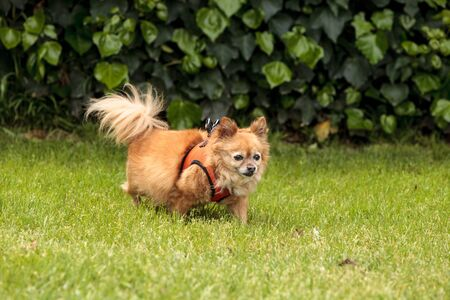 Chihuahua Pomeranian dog mix plays in a dog park in summer.
