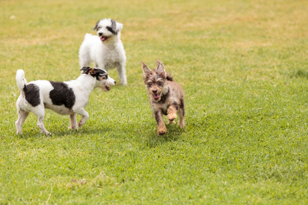 Group of terrier dog mixes play in a dog park in summer. Stock Photo
