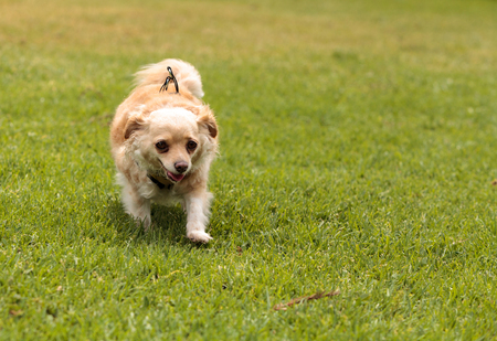 Chihuahua dog mix plays in a dog park in summer. Stock Photo