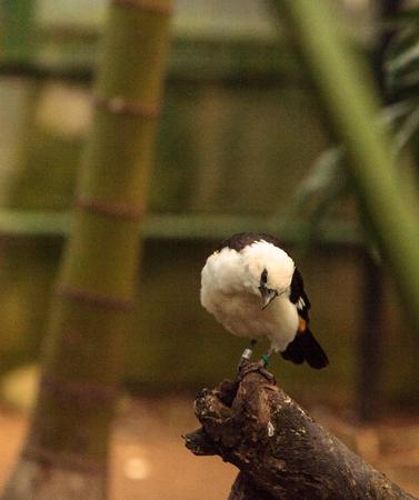WEAVER: White headed buffalo weaver, Dinemellia dinemelli, is a bird found in Ethiopia and Tanzania. Stock Photo