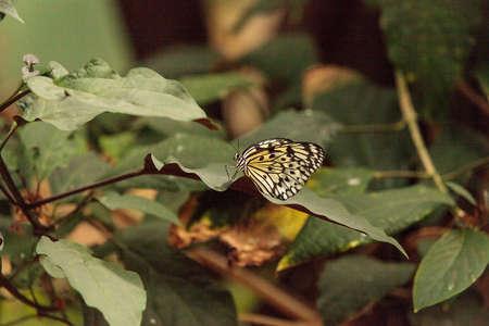 Paper kite butterfly, Idea leuconoe, in a botanical garden in spring Stock Photo