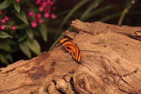 Tiger longwing butterfly, Heliconius hecale, in a botanical garden in spring