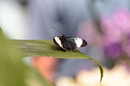 Cydno longwing butterfly, Heliconius cydno, in a botanical garden in spring Stock Photo