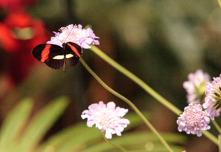 Postman butterfly, Heliconius melpomene, in a botanical garden in spring Stock Photo