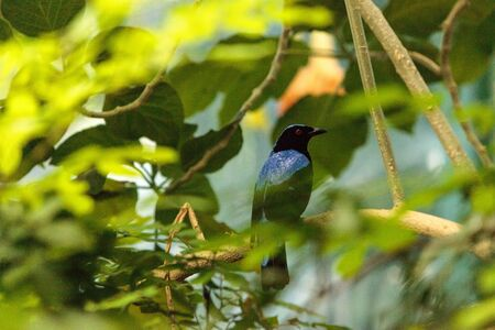 Asian Fairy bluebird, Irena puella, is found in Malaysia and the Philippines
