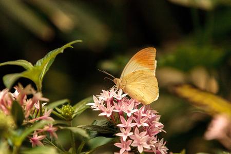 Great orange tip butterfly, Hebomoia glaucippe, in a botanical garden in spring.