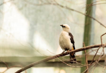 white headed: White headed buffalo weaver, Dinemellia dinemelli, is a bird found in Ethiopia and Tanzania. Stock Photo
